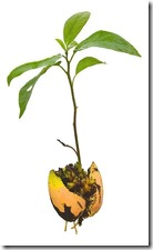 Avocado_tree_5_seeds_for_growing_indoors_outdoors_instructions