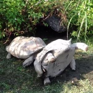 tartaruga-desvira-amiga-em-zoo-taipei-taiwan16dez2014